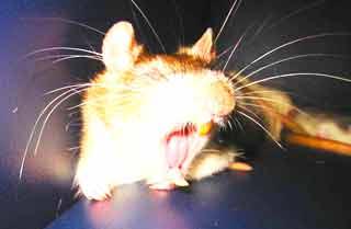 Мыши в СИП-домах
